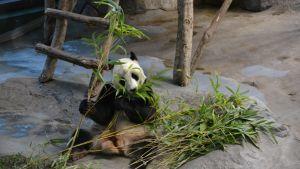 Pyry maistelemassa Ähtärissä ja lähikunnissa kasvatettua bambua.