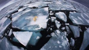 Jääkarhu jäälautalla, Svalbard Norja.