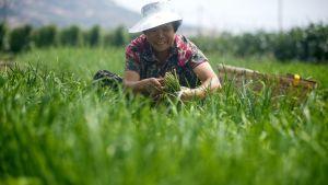 Maanviljelystä Shandongin provinsissa.