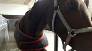 Hevonen kävelee vesikävelykoneessa