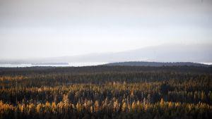 Lumenton metsämaisema Rukalla Kuusamossa 24. marraskuuta