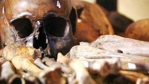 Leväluhdasta löytynyneitä kalloja ja luita