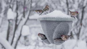 Urpiaiset syömässä siemeniä lintulaudalla