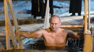 Presidentti Putin pulahtaa hyiseen avantoon Seligerjärvellä.