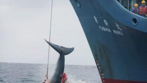 Verinen valas roikkuu kolmesta harppuunasta aluksen kölin edessä.