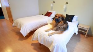 Koira hotellihuoneen sängyllä