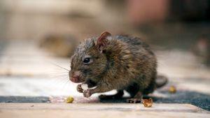 rotta syö pähkinää intiassa
