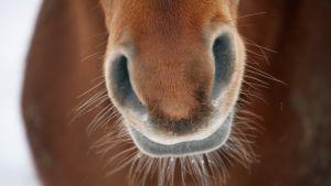 lähikuva hevosen turvasta