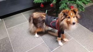 Siru-koira painepaidassa joulukuusen edessä.