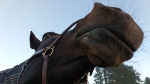 Hevonen tutkii kameraa