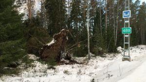 Radan varressa kaatunut puu.