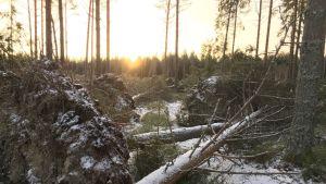 Myrskyssä kaatuneita puita Maalahdessa.