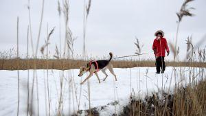 Vieno-koira lenkillä Villa Elfvikin maisemissa Espoossa