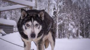 Suti on yksi Eräpalvelujen koirista, joka lähtee lopputalveksi Rovaniemelle.
