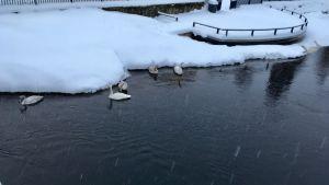 Joutsenet vedessä talvella Kajaanissa