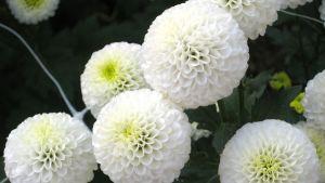 Kuvassa valkoisia krysanteemeja, joita käytetään hautajaiskukkina Japanissa.