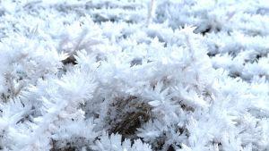 Lähikuva lumisesta sammaleesta