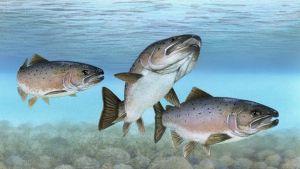 Piirroskuva kolmesta kivipohjaisessa joessa uivasta lohesta.