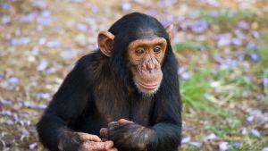 nuori simpanssi