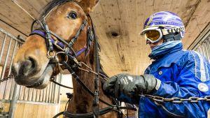Timo Niemelä valmentaa Kempeleessä Timo Nurmoksen hevosia, joista yksi on Express Love.