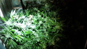 Kannabiskasveja kasvatusteltassa