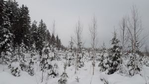 metsä, taimikko, koivu