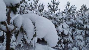 tykkylumi, lumiset puut, mänty
