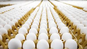 Kennoihin pakattuja kananmunia hollantilaisella kanatilalla.