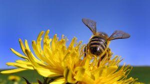 Mehiläinen Biessenhofenissa Baijerin osavaltiossa.
