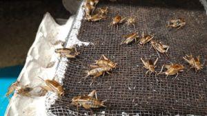 Heinäsirkkoja Tervossa Savonia Grasshopperissa.