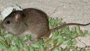 Riuttamosaiikkirotta (Melomys rubicola) on kuollut sukupuuttoon.