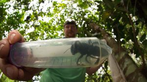Tutkimusryhmään kuulunut Eli Wyman esitteli Megachile plutoa tammikuussa Indonesiassa.