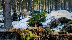 Katkenneita oksia metsässä.