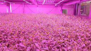 kerrosviljely kasvihuone led-valaistus