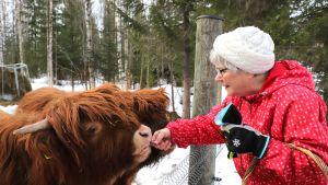Mummo antaa leipää nuorille lehmille.