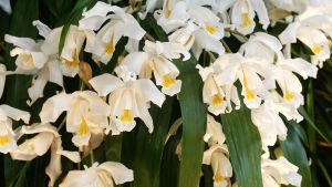 Lumikuningatar eli Coelogyne cristata -orkidea.