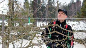 Rune Drockila tekee omenapuun hoitoleikkausta.