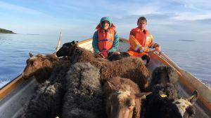 Miehiä vievät lampaita veneellä saareen.