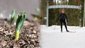 Turussa kuopsutetaan jo kukkapenkkejä, kun Rovaniemellä vielä kerätään hiihtokilometrejä.