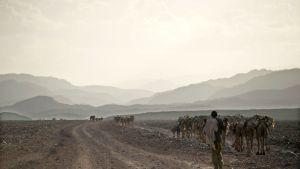 Eritrean ja Etiopian raja-aluetta. Kuva Afarista Etiopian puolelta rajaa.