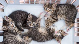 Kissakokeet pöyristyttivät monia Yhdysvalloissa. Nämä kissanpennut on kuvattu Saksassa vuonna 2015.