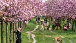 Kirsikankukkien loistoa Teltowissa, Berliinissä vuonna 2018.