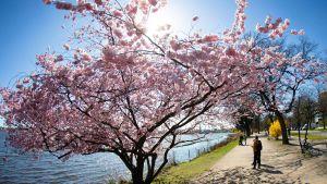 Kirsikkapuut kukkivat Hampurissa maanantaina huhtikuun 1. päivänä.