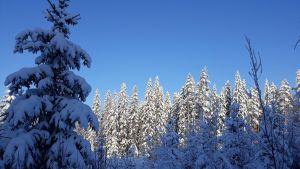 Lumista pohjoiskarjalaista metsää.