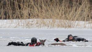 Peuran pelastaminen jäistä Kirkkonumella 2016