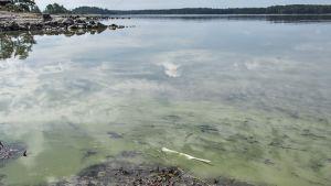 Rantaan ajautunutta sinileväkukintoa Rauman saaristossa.