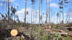 Myrskyn kaatamaa metsää, Ahvenanmaa