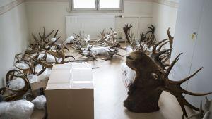 Eläinten sarvia huoneen lattialla.