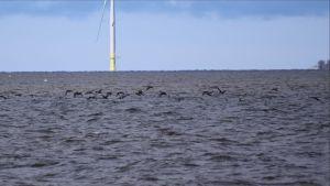 Merimetsoja lentää lähellä meren pintaa.