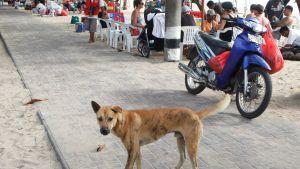 Kulkukoira seisoo kadulla Balilla.